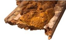 Holzzerstörender Pilz