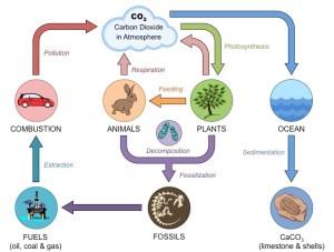 Carbon Cycle | BioNinja