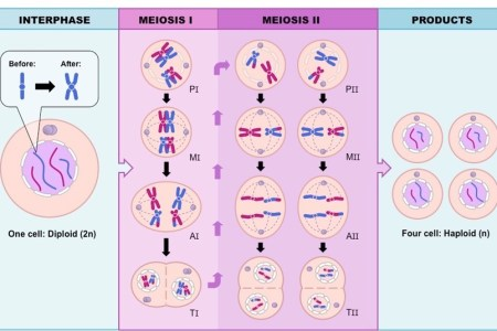 Stages of meiosis labeled path decorations pictures full path meiosis name the phases phases bbc gcse bitesize cell division higher tier stages of meiosis meiosis cell division biology article khan academy mitosis ccuart Gallery