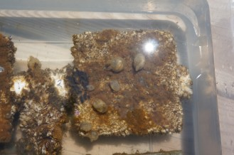 Molgula manhattensis, Botryllus schlosseri, barnacles