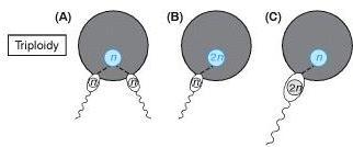Dos espermatozoides fecundando un ovulo