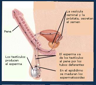 Señalados estan los conductos deferentes donde aplican la cirugía.