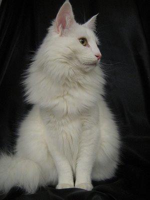 norwegian-forest-cat-noeoracio-6