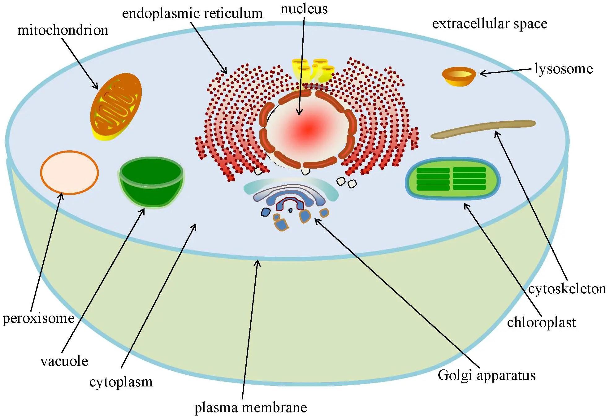 Chloroplast Function