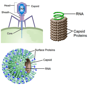 Virus Structure | Definition | Classification
