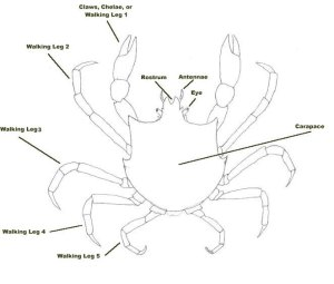 Brachyura (True Crabs) of BC