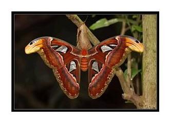 İşte dünyanın en büyük kelebeği!