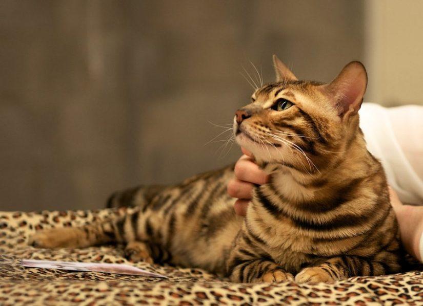 kucing hutan bengal