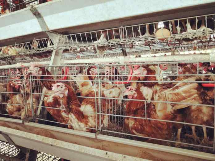 Poultry farmers bleed as Banks deny agribusiness funding
