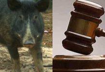 Court arraigned 22-year-old Man for alleged sex with pig in Ibadan