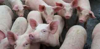 Swine fever outbreak in Nigeria persist as Pig farmers count losses
