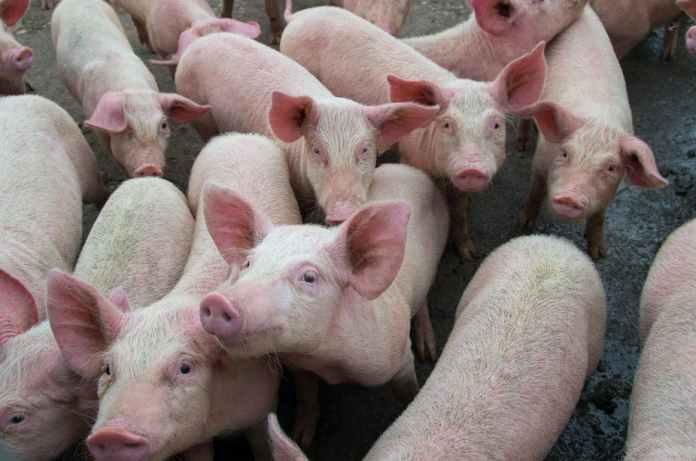 Swine fever outbreak in Nigeria persist, as Pig farmers count losses