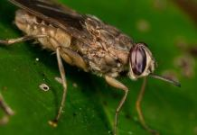 FG commences tsetse fly survey to improve livestock health