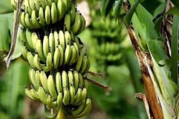 'How Nigeria's GDP can grow through banana, plantain production'