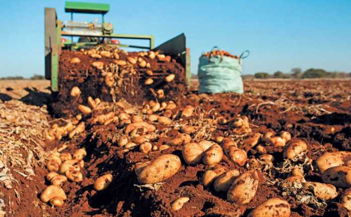 FG targets 4,200 potato farmers in 7 states to deepen production