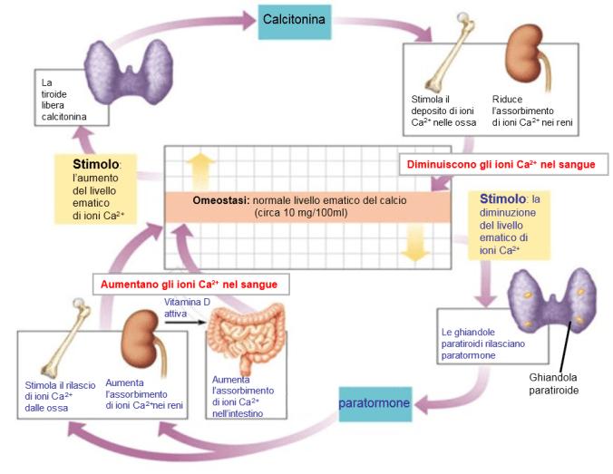 omeostasi-della-calcemia