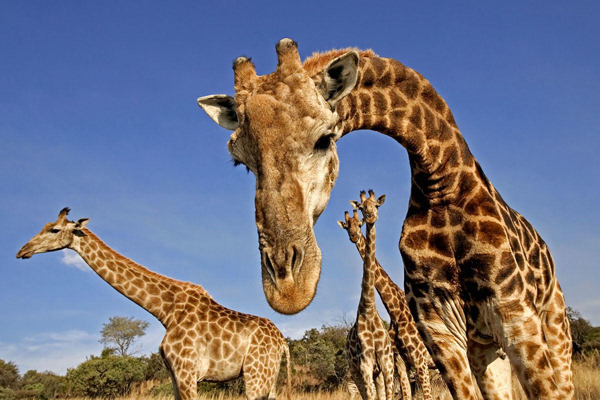 E la giraffa...va in scena