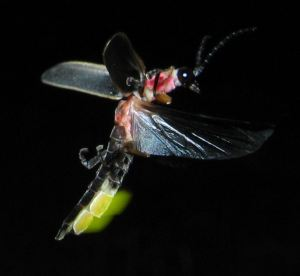 Photinus_pyralis_Firefly_glowing