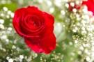 Rosenschleier