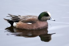American Wigeon also to be found