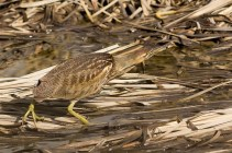This American Bittern was probably the highlight of the trip. Here it catches a stickleback.