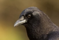 Further crow portraiture