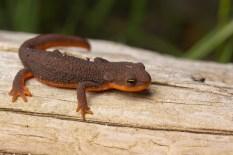 Rough-skinned Newt!