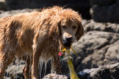Maggie's mission is to retrieve stuff, even kelp. It is in her nature!