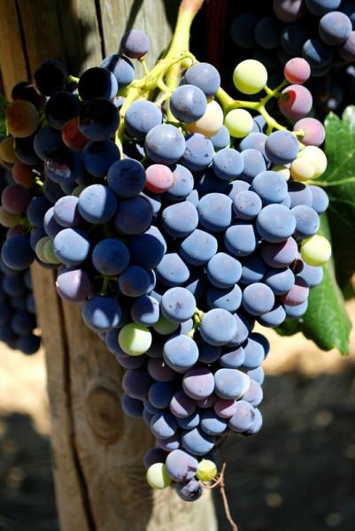 d-wines_виноград_01
