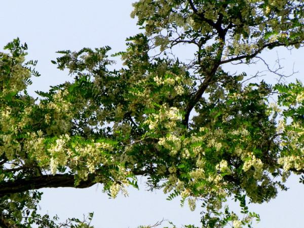 Robinia pseudoacacia IMG_7755