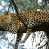 Cat-Nap,-Leopard,-Africa
