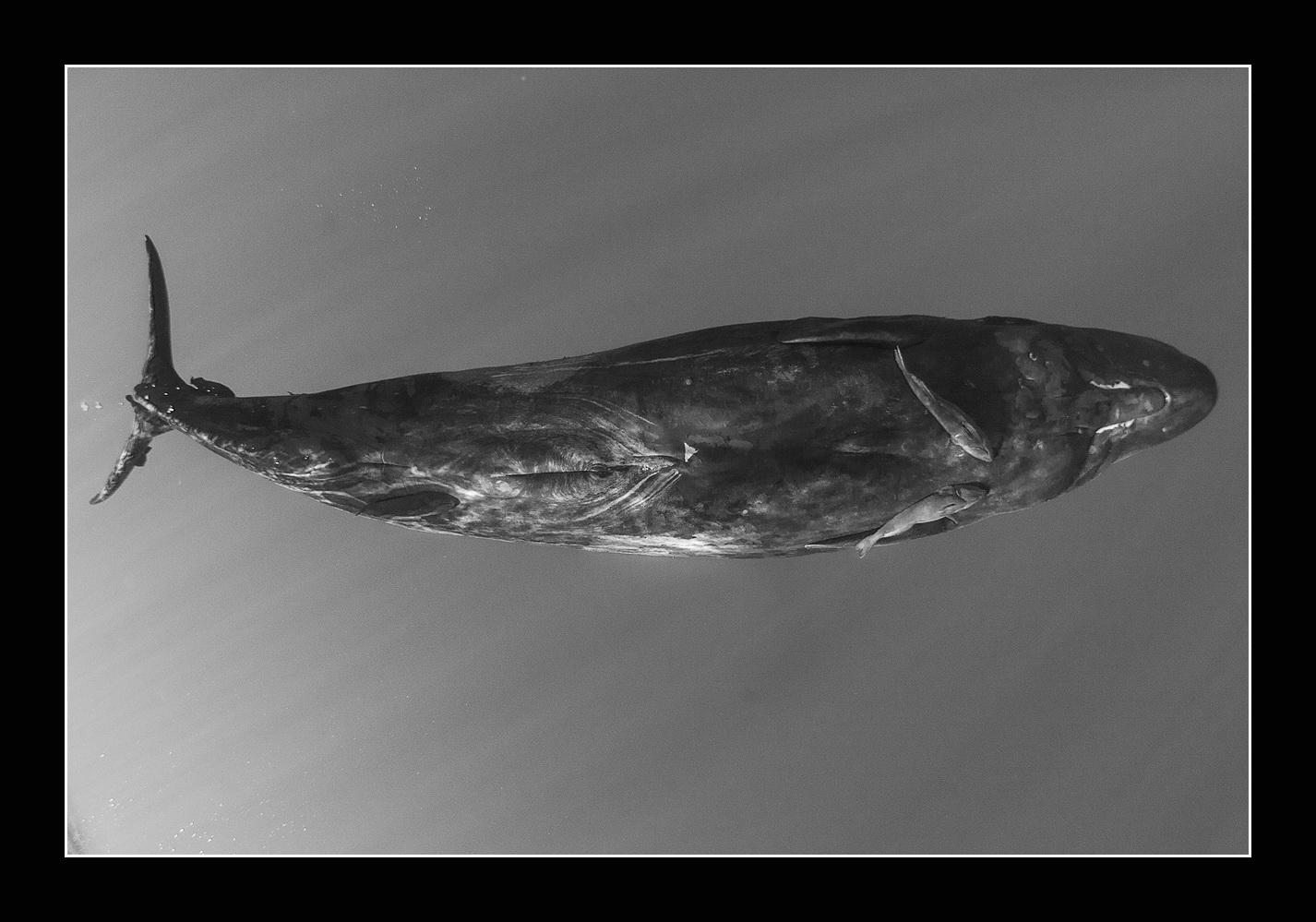 pierderea în greutate de balenă din dreapta sudică băuturi naturale de slăbire