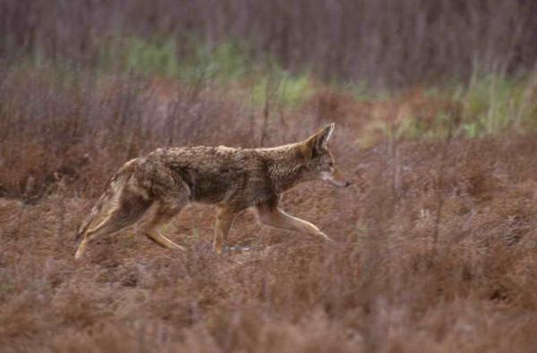 Coyote - Hollingsworth, John and Karen - NCTC