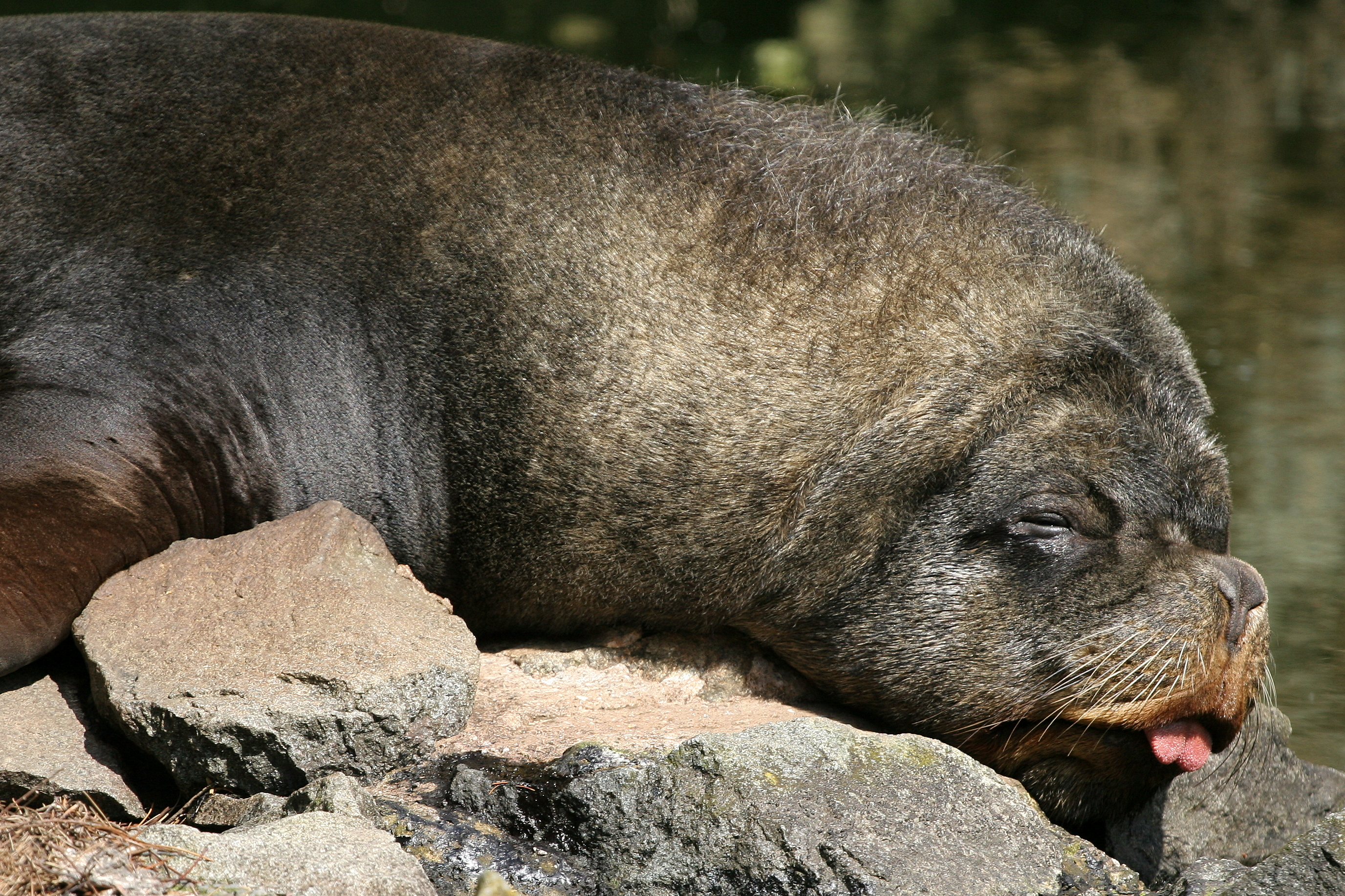 Sea lion exhaustion