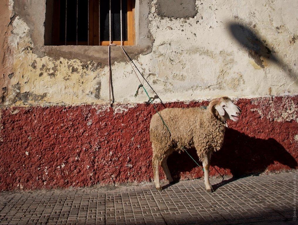 Mouton à sacrifier