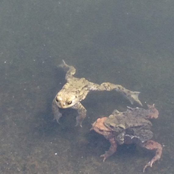 frogs mating near Lewes South Downs
