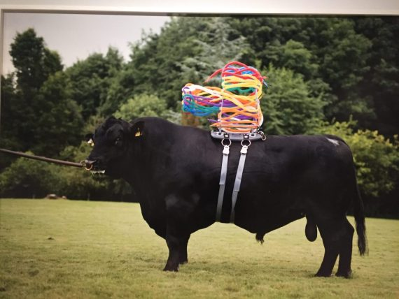 Strange picture of Bull with sperm straws on his back!
