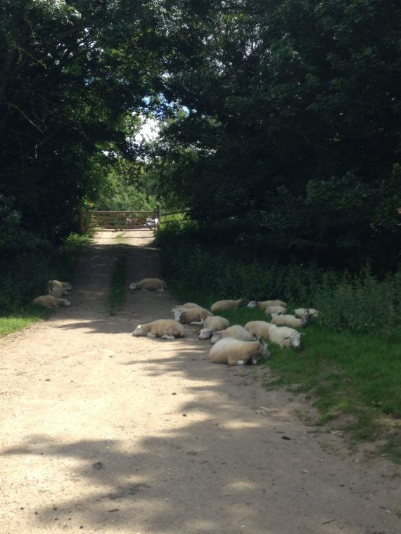 Sheep flat out in Cantebury