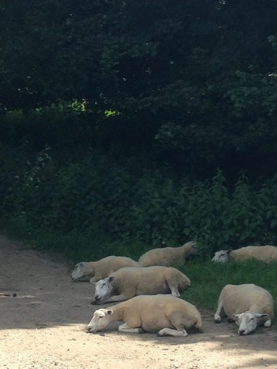 PIC OF TIRED HOT SHEEP