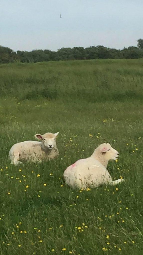 sheep relaxing