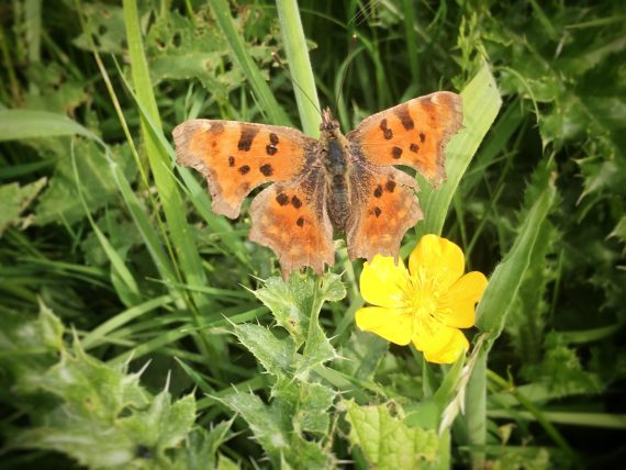 Winchelsea ButteRfly on a Buttercup