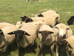 Curious Sheep at start of walk Teynham Kent
