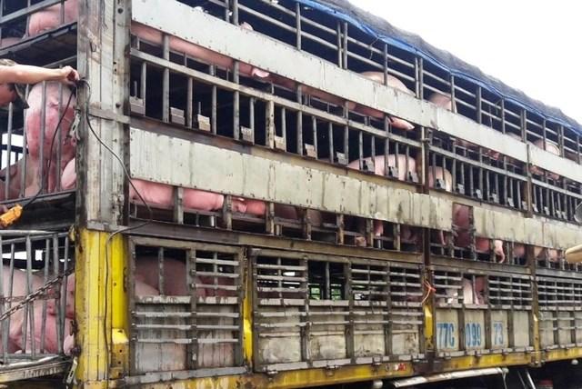 """Giám đốc Sở nông nghiệp Thanh Hóa """"đột kích"""" cơ sở giết mổ lợn giữa thành phố - 3"""