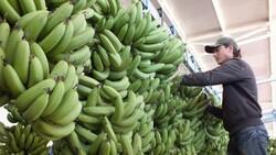 Tarladan 6 liraya çıkan Anamur muzu, markette 15 liradan satılıyor