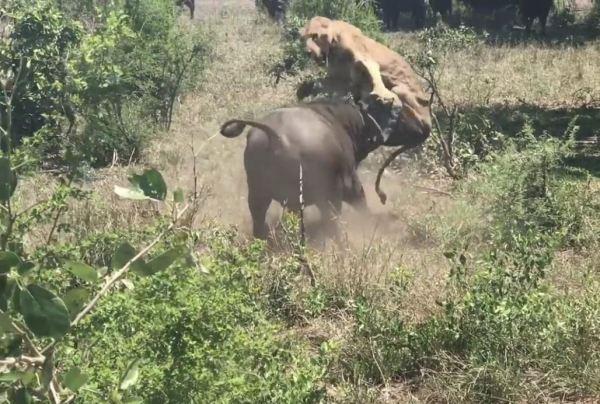 Bufalo pusudaki aslana saldırdı