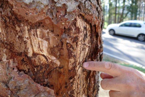 Atatürk Köşkü Ormanı'ndan 456 ağaç kesilecek