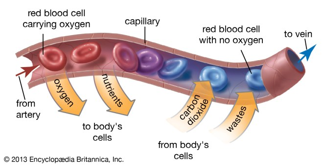 What is red blood cells #1