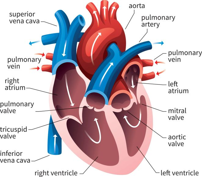 What is a heart #1
