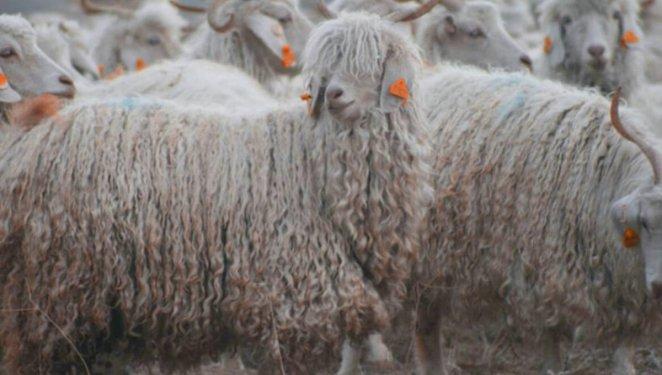What is Angora Goat #1