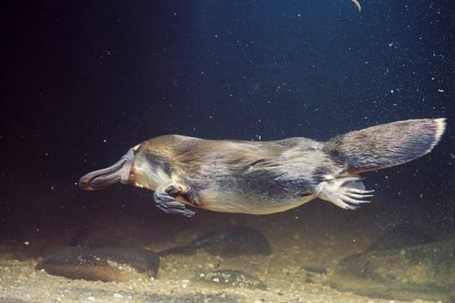 What is a platypus #2